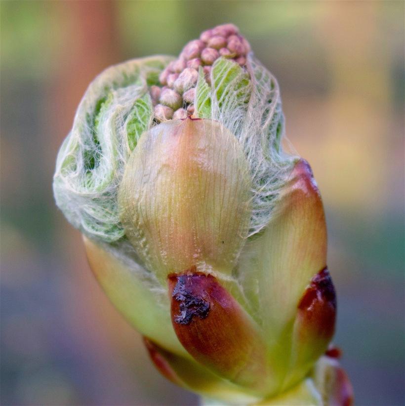chestnutspring3