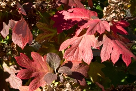 fall-hydrangea-leaves_30821400435_o
