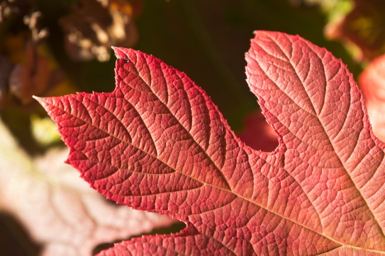 fall-hydrangea-red-leaf_30704462432_o