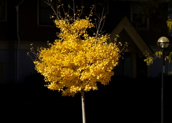 flaming-ginkgo_30189519084_o