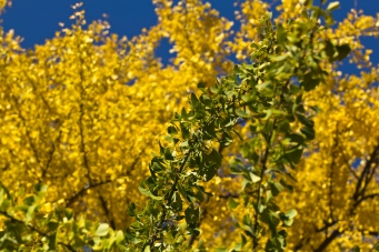 ginkgo-green-and-yellow_30784730196_o