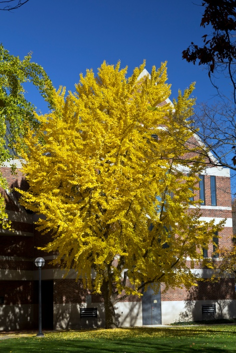 ginkgo-tree-by-alumni-center_30784720116_o