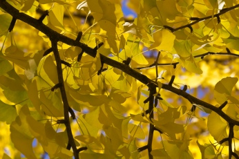 ginkgo-yellow-leaves_30821371235_o