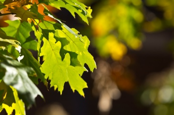 green-oak-leaf-in-sun_30821350655_o