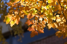 maple-leaves-in-sun_30784676936_o