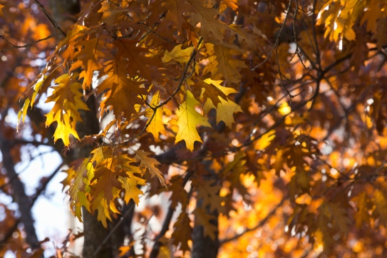 red-maple-leaves-in-sun_30186477243_o