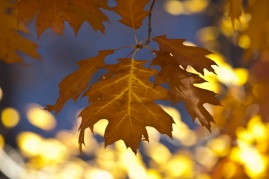 red-oak-leaf-2_30704394812_o