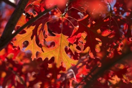 red-oak-leaf-3_30189468674_o