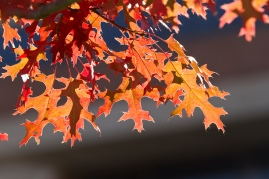 red-oak-leaves-in-sun_30704385642_o