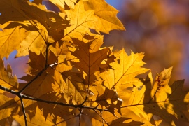 red-oak-leaves_30189461464_o